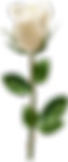 Rose_with_Stem_White_Transparent_PNG_Ima