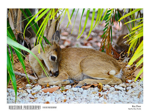 "Key Deer, Florida (7x10"")"