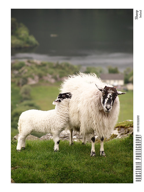 "Sheep, Ireland (7x10"")"