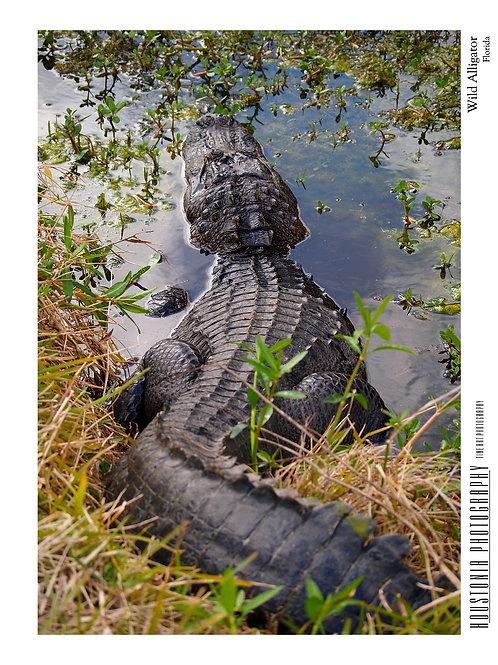 "Wild Alligator, Florida (7x10"")"