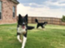 fancy-gibson puppy.jpg