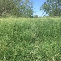 grass-top