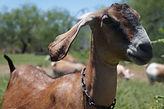 goats-mercy face-ears back.jpg