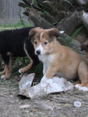 puppy fall 018-Tan Male, pink female,whi