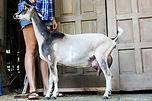 ziffendale 2nd Fresh '17 rear udder milk