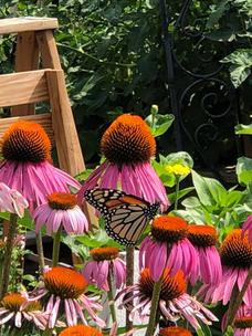 Monarchs and Coneflower.jpg