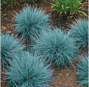 grass-fescue-elijah-blue-festuca-glauca.