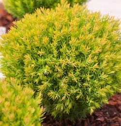 allium-ornamental-onion.jpg
