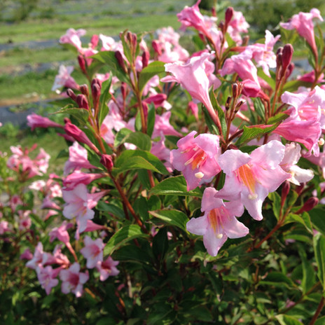 sonic bloom_pure_pink_weigela Proven.jpg