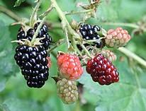 Triple Crown Blackberry wiki.jpg
