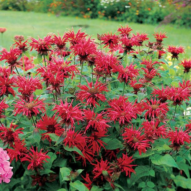 monarda-didyma-gardenview-scarlet.02.jpg