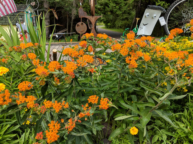Butterfly Weed Copper Harbor.jpg