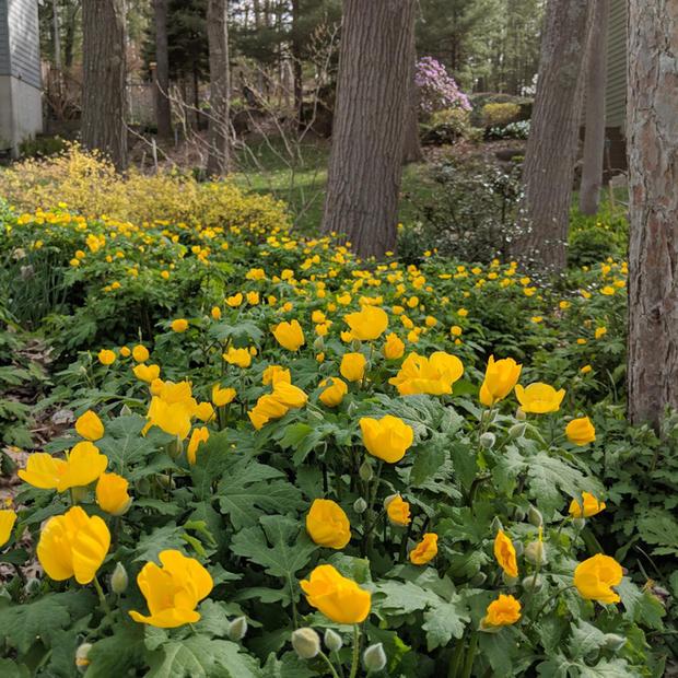 Celendine Poppy Yard.jpg