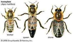 3-honeybee-types-300.jpg