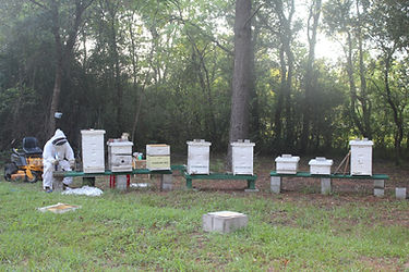 Capturing Swarm in Bee Yard-2.JPG