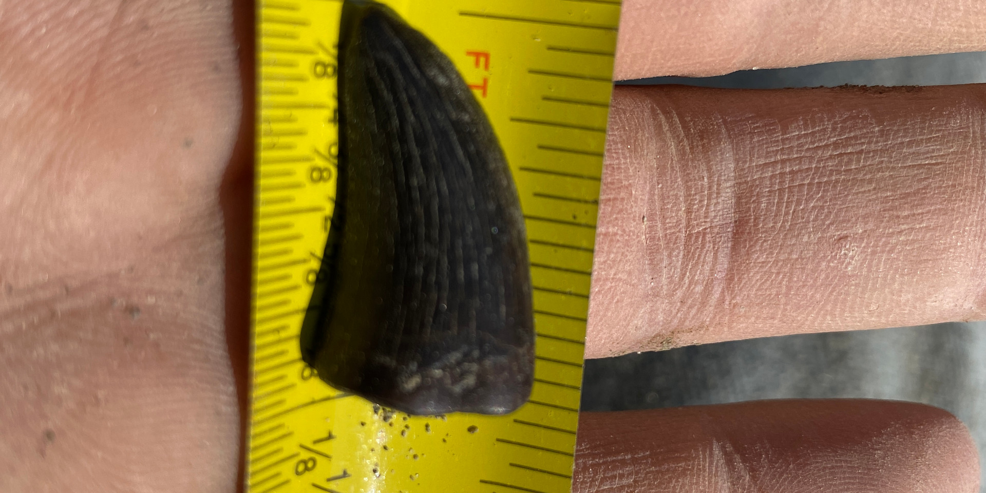 Shed therapod tooth