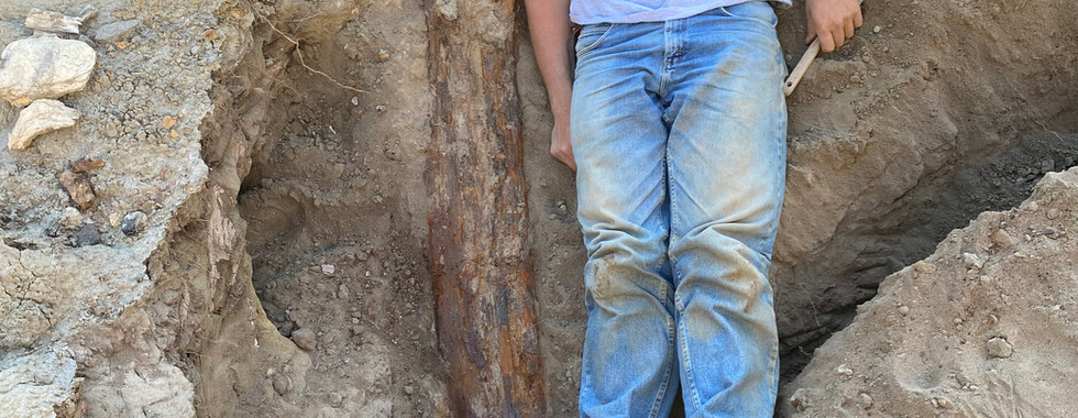 Fossil timber