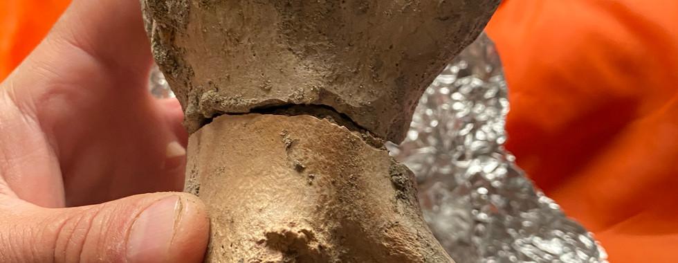 Rex toe bone