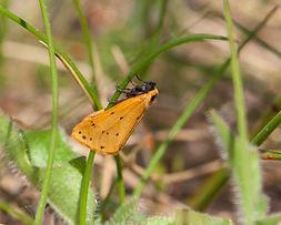 Dew Moth Setina irrorella.jpg
