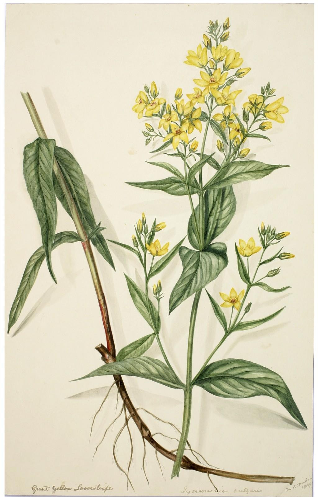 Yellow Loosestrife Lysmachia vulgaris
