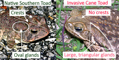 Bufo Toad Toxicity in Dogs, emergency vet, key west vet, Keys Animal Care Center