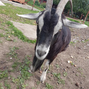 not only cats and dogs need behaviour advice and healing. Jenny, our goat friend enjoyed healing too