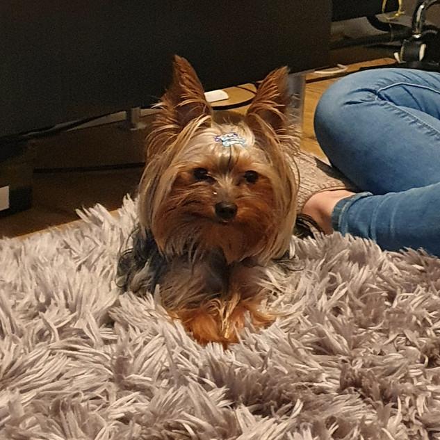 Milo the Yorkie