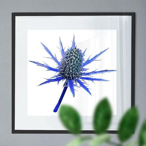 Oil Painting Wall Art Print of a Eryngium Alpinum 'Blue Star' Flower