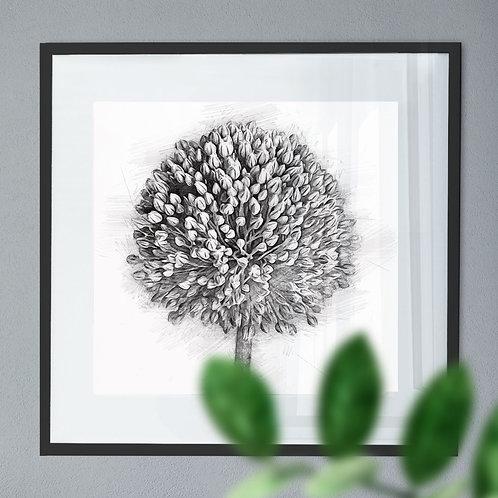 A Pencil Drawing Wall Art Print of a Allium Flower (Pencil Drawing)