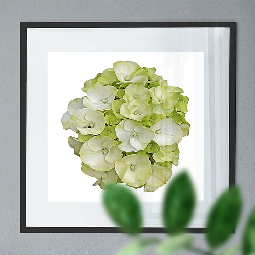 Oil Painting Wall Art Print of a White Hydrangea