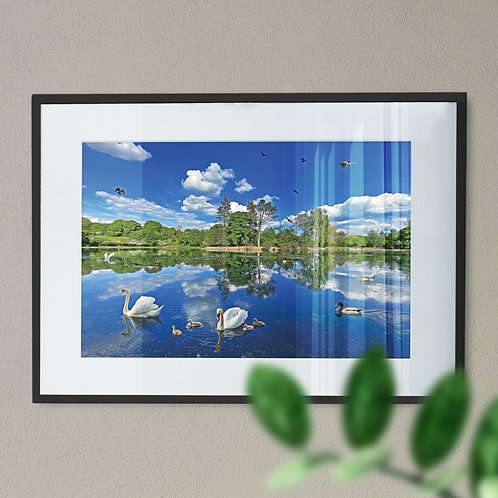 Swans at Queens Park Wall Art Print -  Heywood Rochdale Digital Effect