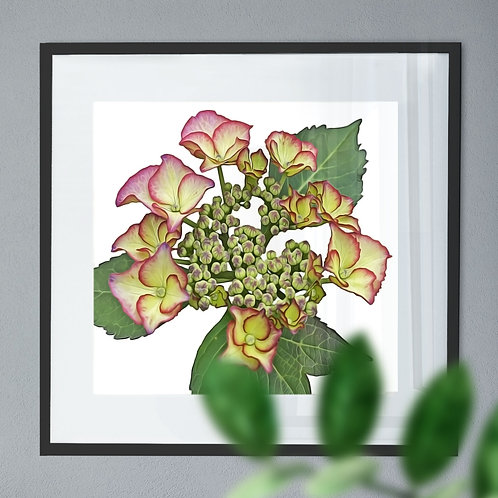 Oil Painting - Wall Art Print of a Hydrangea
