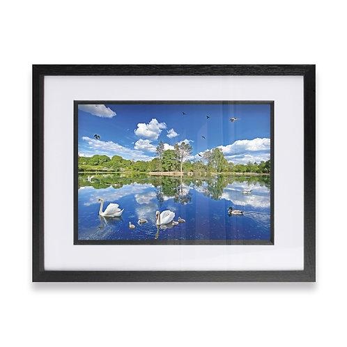 Swans at Queens Park, Heywood Rochdale Digital Effect Framed Print