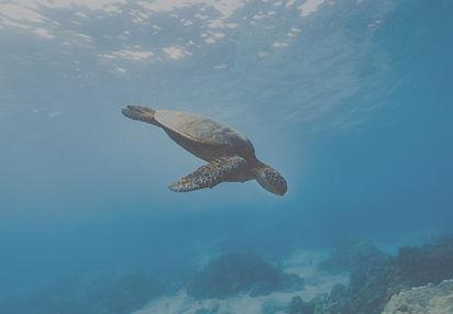 green turtle swimming ocean