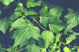 ivy-3519431.jpg