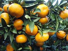 Citrus_unshiu_20101127_c.jpg
