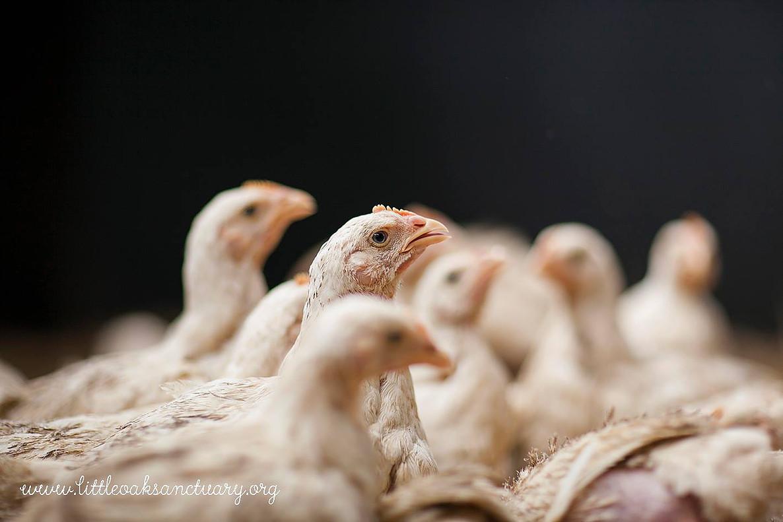 6 week old chicks