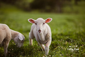 Rambo Alpacas & Goats-25b.jpg