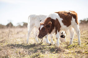 Sponsor a Cow at Little Oak Farm Animal Sanctuary