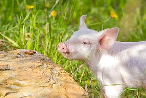 Little Timmy Piglet