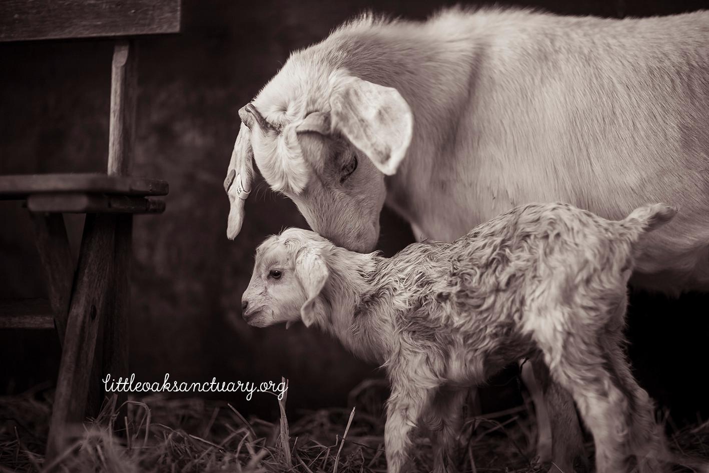 goatbabes-98b.jpg