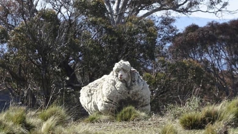 Merino sheep in Australian bush, carrying world record amount of fleece, Chris the sheep
