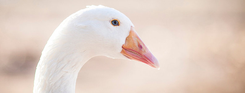 Greeting Card - Snow goose