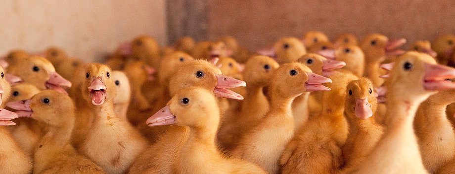 Duck Farming Australia.jpg