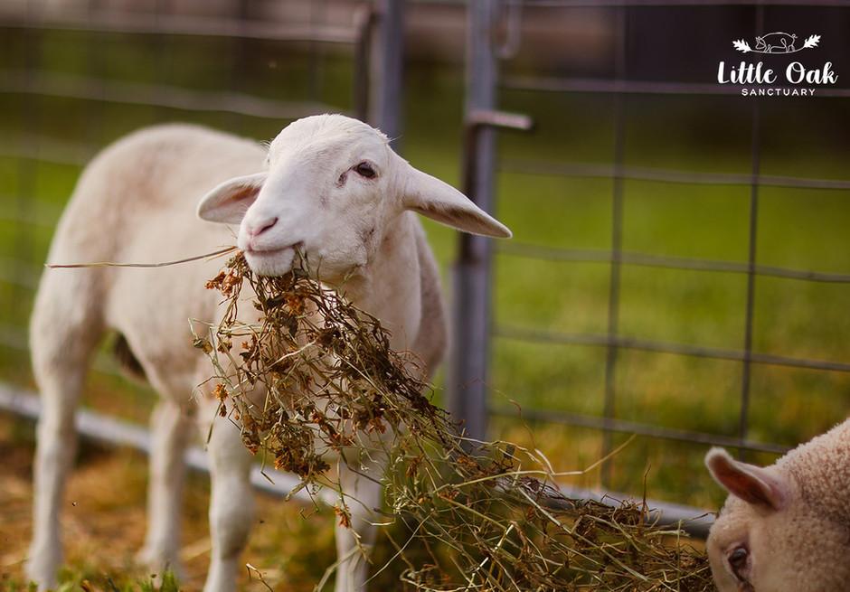Rambo with hay