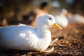 Sponsor a Duck at Little Oak Farm Animal Sanctuary