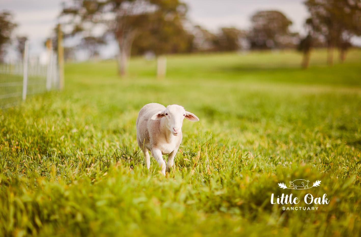 Rambo lamb