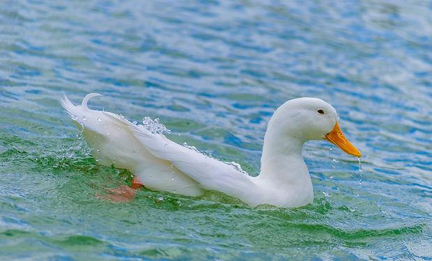 Duck in Water.jpg