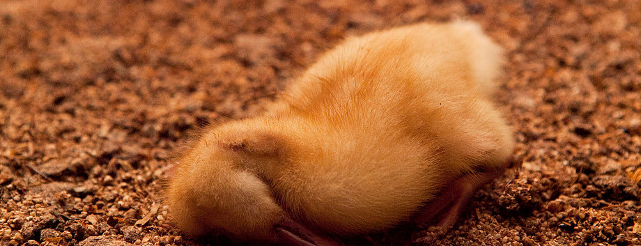Duck Farming Australia