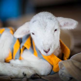 vulnerable lambs